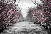 Peach Photos - Blooming peach orchard by Elena Elisseeva