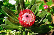 Protea Art Framed Prints - Blooming Protea Framed Print by Kaye Menner