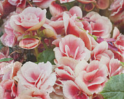 Floral Photographs Posters - Blooming roses Poster by Ivy Ho