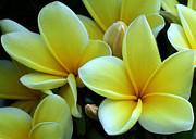 Sabrina L Ryan - Blooming Yellow Plumeria