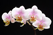 Orchid Photo Prints - Blooms on Black Print by Juergen Roth
