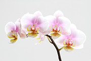 Orchid Photo Prints - Blooms on White Print by Juergen Roth