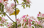 Yellow Warbler Posters - Blossom and bird Poster by Mircea Costina Photography