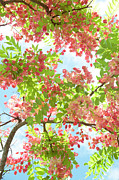 Charmian Vistaunet - Blossoming Pink Shower Tree