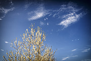 Blossoming Tree Prints - Blossoming tree and dark blue sky in spring Print by Matthias Hauser