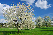 Blooming Tree Posters - Blossoming trees in spring on green meadow Poster by Matthias Hauser