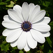 Tracey Harrington-Simpson - Blossoming White Osteospermum