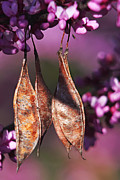 Seedpods Photos - Blossoms and Seedpods by Theo OConnor