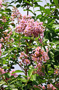 Crape Myrtle Posters - Blossoms in Crape Myetles Tree Poster by Linda Phelps