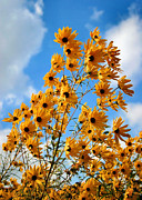 Black Eye Susan Prints - Blowin in the Wind Print by Kristin Elmquist