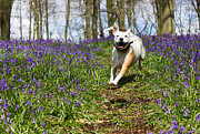 Staffie Prints - Blubell charge Print by Ian Hufton