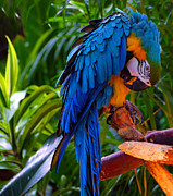 Blue And Yellow Macaw Prints - Blue and Gold Macaw Print by Jordan Blackstone