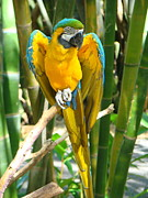 Blue And Gold Macaw Posters - Blue and Gold Macaw Poster by Phyllis Beiser