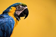 Blue And Gold Macaw Posters - Blue and Gold Macaw side Poster by Jhanzaib Khan