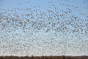 Al Blount - Blue And Snow Geese