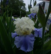 Kimbrella   - Blue and White Iris
