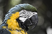 Blue And Yellow Macaw Prints - Blue and Yellow Macaw Print by Andrew Bailey