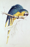 Perched Paintings - Blue and Yellow Macaw by Edward Lear