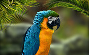 Elaine Manley - Blue and Yellow Macaw