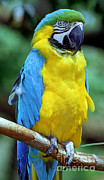 Blue And Gold Macaw Prints - Blue And Yellow Macaw Print by Millard H. Sharp