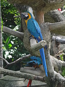 Padamvir Singh - Blue and Yellow Macaw