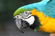 Macaw Photos - Blue and Yellow Macaw Portrait by James Brunker