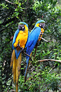 James Brunker Metal Prints - Blue and Yellow Macaws Metal Print by James Brunker