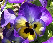 Blue And Yellow Pansies Print by Cathy Lindsey