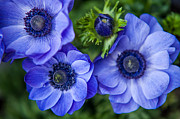 Nikon Metal Prints - Blue Anemones. Flowers of Holland Metal Print by Jenny Rainbow