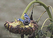 Bluejay Metal Prints - Blue Metal Print by Ann Butler