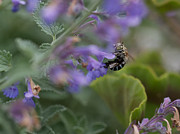 Cingulata Photos - Blue Banded Bee 2 by Mardi Harrison