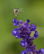 Cingulata Photos - Blue Banded Bee 3 by Mardi Harrison