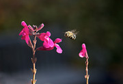 Australian Bee Photos - Blue Banded Bee 4 by Mardi Harrison