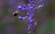 Australian Bee Photos - Blue Banded Bee by Mardi Harrison