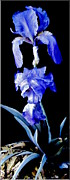Blue Bearded Rhizomatous Irises Print by Danielle  Parent