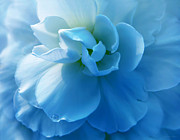 Light Aqua Framed Prints - Blue Begonia Flower Framed Print by Jennie Marie Schell