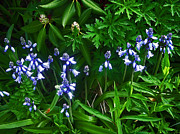Blooms Posters - Blue Bells Poster by Aimee L Maher