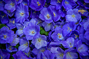 Violet Photos - Blue Bells Carpet. Amsterdam Floral Market by Jenny Rainbow