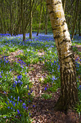 Blue Flowers Photos - Blue Bells Path by Svetlana Sewell