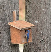 George Miller - Blue Bird on Bird House