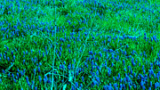 Grape Hyacinths Photos - Blue Blanket by Tina M Wenger