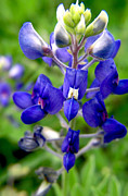 Blue Bonnet Print by Adam Johnson