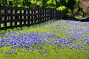 Joan Bertucci - Blue Bonnet Fence Line