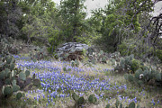 Douglas Barnard - Blue Bonnets in...