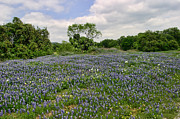 Blue Bonnets Prints - Blue Bonnets Texas State Wildflowers Print by Linda Phelps