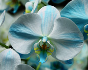 William Dey Photography Posters - BLUE BOW Orchid Poster by William Dey