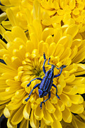 Mum Posters - Blue bug on yellow mum Poster by Garry Gay