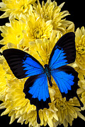 Yellows Posters - Blue butterfly on poms Poster by Garry Gay