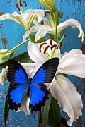 Whites Posters - Blue butterfly on white tiger lily Poster by Garry Gay