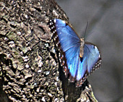Gables Posters - Blue Butterfly with Black Edges Poster by Allan Einhorn